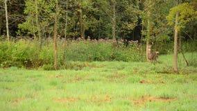 Whitetail rogacza samiec zbiory