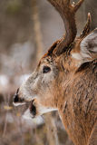 Whitetail rogacza samiec spadku bekowiska zakończenie Up Zdjęcie Royalty Free