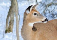 Whitetail rogaczy królica Obrazy Stock