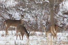 Whitetail rogaczy pozycja w śniegu w drewnach obraz royalty free