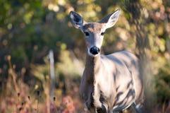Whitetail-Rotwild im Herbst Lizenzfreie Stockbilder