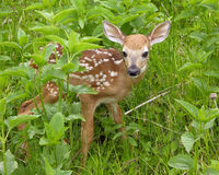 Whitetail-Rotwild-Kitz Stockbild