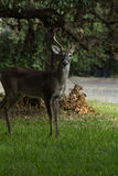 Whitetail samiec Fotografia Stock