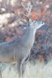 Whitetail samiec robi jego perfumowanie ocenie na gałąź zdjęcia royalty free