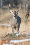 Whitetail samiec z nabrzmiałą szyją podczas bekowiska Fotografia Royalty Free