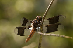 Whitetail skimmer dragonfly - Plathemis lydia Stock Photography