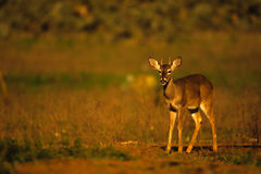 Whitetail Spike Buck in Early Morning. A little spike buck whitetail deer standing broadside Stock Images