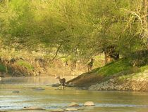 Whitetail At Stream. Whitetail deer standing at stream edge under a tree Stock Images