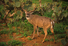 Whitetail sul de Texas foto de stock royalty free