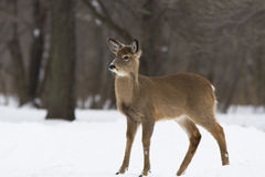 Whitetail in winter Royalty Free Stock Photos