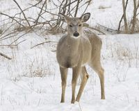 Deer. Yearling Whitetail is very curios about my presences Stock Photo