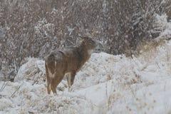 Whitetailbock i snö Arkivbild