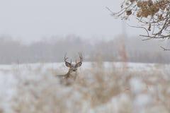 Whitetailbock i snö Royaltyfri Foto