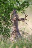 Whitetailbock som äter sidor från träd Royaltyfri Bild