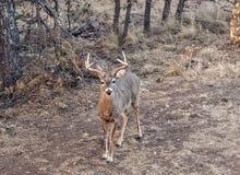 Whitetailbok royalty-vrije stock fotografie
