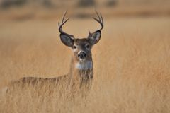 WhitetailBuck Deer anseende i standfing jaktsäsong för högväxt gräs Arkivbilder