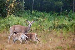 whitetailed的母鹿小鹿 库存照片