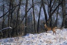 whitetailed огромное самеца оленя Стоковая Фотография RF