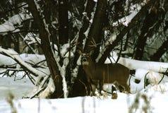 whitetailed снежок самеца оленя Стоковые Фотографии RF