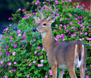 Whitetailed Buck Stock Photography