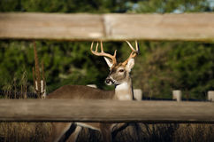 Whitetailed Buck Deer i Texas Hill Country Arkivbild