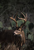 Whitetailed Buck Portrait Stock Photography