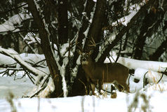 Whitetailed Buck in Snow Royalty Free Stock Photos