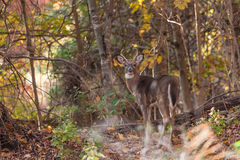 Whitetailed Buck in Woods Royalty Free Stock Photography