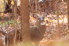 Whitetailed Buck in Woods Royalty Free Stock Images