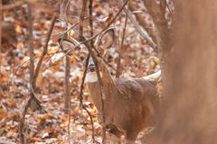 Whitetailed Buck in Woods Stock Photos