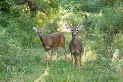 Whitetailed Bucks Royalty Free Stock Photography