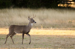 Whitetailed Deer Buck Royalty Free Stock Photography