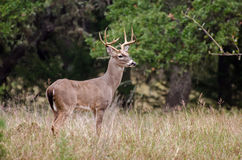 Whitetailed Deer Buck Royalty Free Stock Image