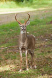 Whitetailed Deer Buck Stock Photography