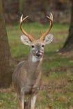 Whitetailed Deer Buck Royalty Free Stock Photo