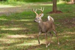 Whitetailed Deer Buck Royalty Free Stock Image