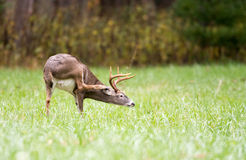 Whitetailed deer buck Stock Images