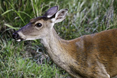 Whitetailed Deer Doe Royalty Free Stock Photos