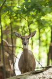 Whitetailed Deer Doe Stock Photography