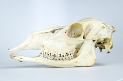Whitetailed Deer Doe Skull Taxidermy Stock Photo