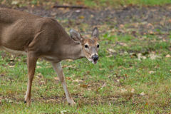 Whitetailed Deer Doe Royalty Free Stock Images