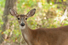 Whitetailed Deer Doe Royalty Free Stock Photo