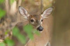 Whitetailed Deer Doe Royalty Free Stock Image
