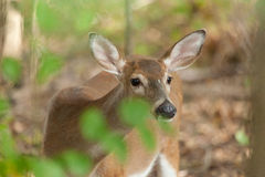 Whitetailed Deer Doe Royalty Free Stock Photography
