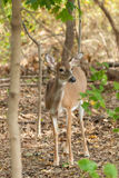 Whitetailed Deer Doe Royalty Free Stock Photos