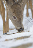 Whitetailed Deer Eating Royalty Free Stock Photos
