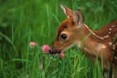 Whitetailed Deer Fawn Sniffing a Thistle Bloom Stock Image