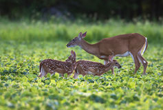 Whitetailed deer fawn Royalty Free Stock Image