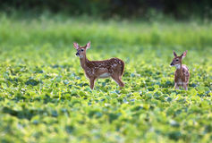 Whitetailed deer fawns Stock Photo