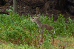 Whitetailed Deer Royalty Free Stock Photography